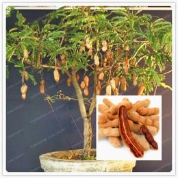 10 partículas/bolsa de tamarindo bonsái árbol hogar Decoración del jardín Diy planta fruta árbol bonsái vegetal bonsái jardín